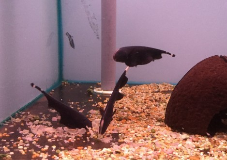 Black Ghost Knife Fish Diet
