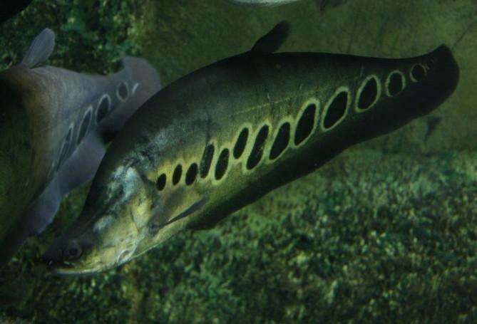 Tropical fish archives sedgley road aquarium for Clown fish scientific name