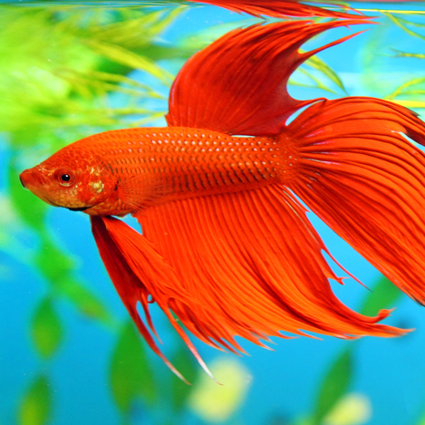 Male fighters betta sedgley road aquarium for Female betta fish names