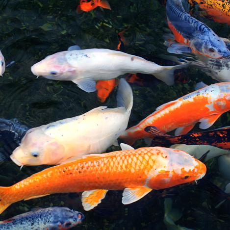 maxalae koi fish le - photo #32