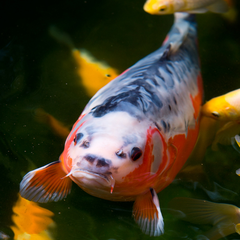 Koi sedgley road aquarium for Koi pool opening times